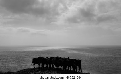 Young Cattle huddled together on a hill at the coast.