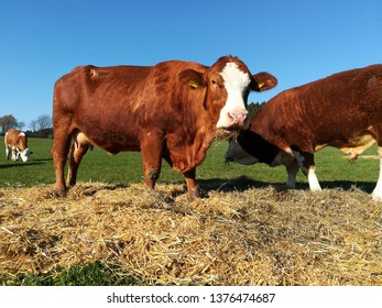 young cattle on the pasture devour hay