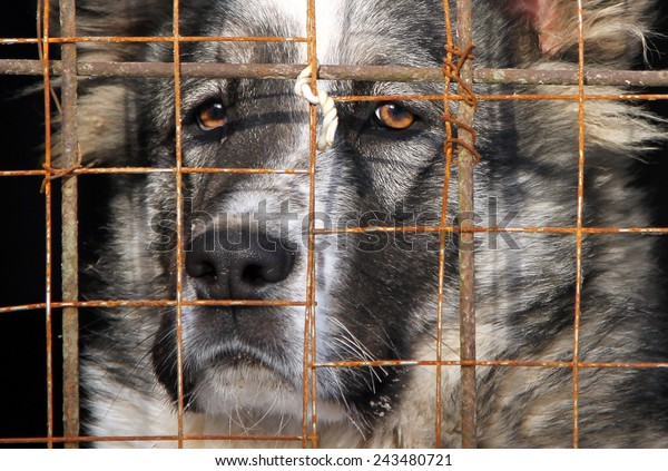 Young Central Asian Shepherd Dog in a cage