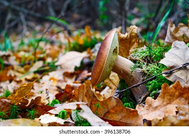 The young cepe growing in wood in the autumn