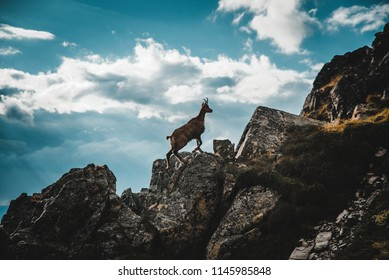 Young chamois from italian alps