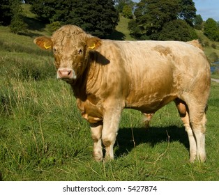 Young Charolais cross bull, grazing on summer pasture