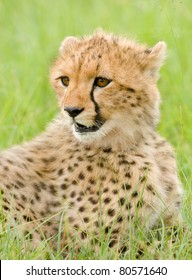 A young cheetah cub in Kenya's Masai Mara