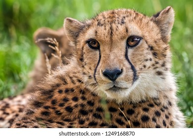 Young cheetah head looking for spoil