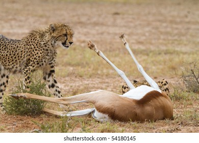A young cheetah standing next to a dead springbok in the Kalahari desert