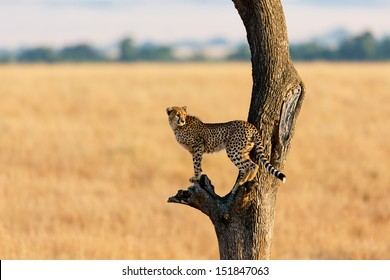 Young Cheetah in the tree in Masai Mara, Kenya
