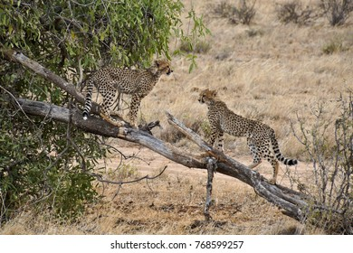 Young cheetahs on play tree, Samburu Game Reserve, Kenya
