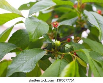 Young cherry branch, green unripe fruit, organic fruit tree