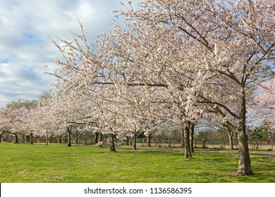 Young cherry trees in full bloom at East Potomac Park of Washington DC, USA. The park located on a man-made island in the Potomac River in US capital city.