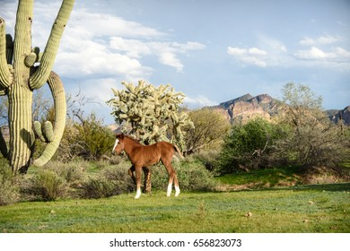 young chestnut colt with white blaze and white socks standing in green spring grass near cholla cacti and saguaro cacti near the usury mountains.  Cute landscape with copy space for text