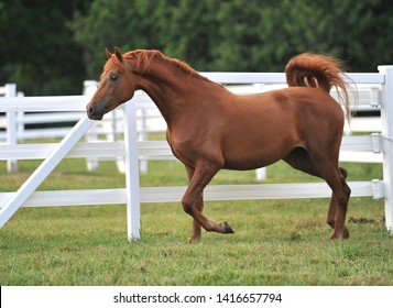 A young chestnut Morgan Horse mare runs free and uninhibited, strutting her stuff.