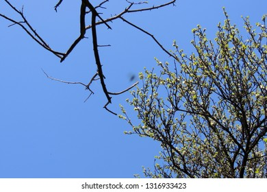 Young chestnut tree leaves seen in early spring against a near clear blue sky.