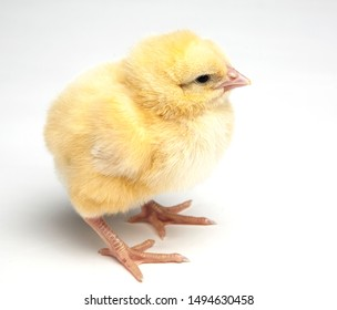 young chick isolated on white background