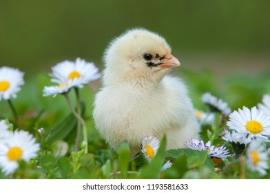 Young chicken amidst daisies