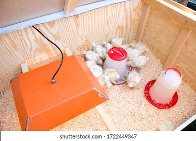 young chicken in box with food and water