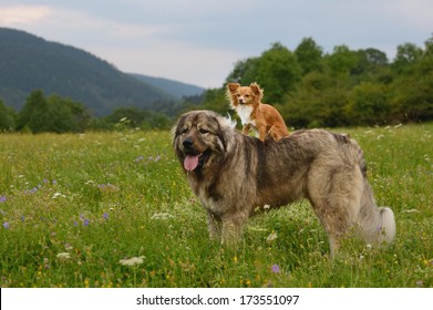 young chihuahua dog with caucasian shepherd