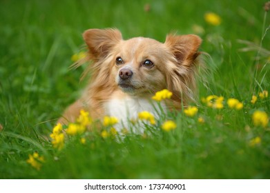 young chihuahua dog in meadow