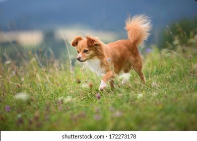 young chihuahua dog walks