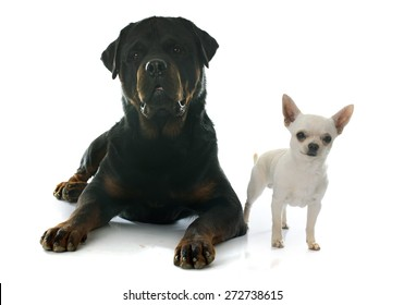 young chihuahua and rottweiler in front of white background