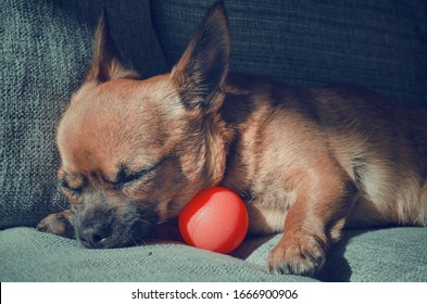 Young chihuahua sleeping on its ball after playing. Sunny day.