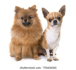 young chihuahua and spitz in front of white background