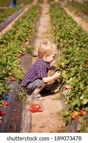 A young child at a strawberry farm picking strawberries outdoors in summer