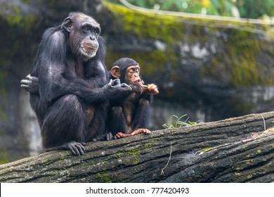 Young chimp hangs on Sit beside chimp's Zoo Taipei in Taiwan