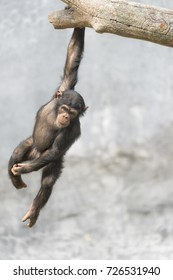 Young Chimpanzee dangling from a tree branch