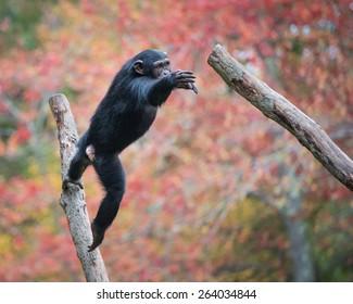 Chimpanzee Jump Images, Stock Photos & Vectors | Shutterstock
