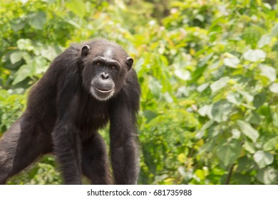 Young Chimpanzee in Jungle