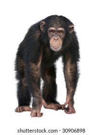 Young Chimpanzee looking at the camera - Simia troglodytes (5 years old) in front of a white background