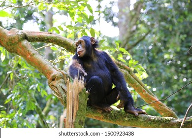 Young chimpanzee on a tree in the Kibale Forest National Park in Western Uganda. The common chimpanzee (Pan troglodytes) is an endangered great ape that inhabits the forests of West and Central Africa