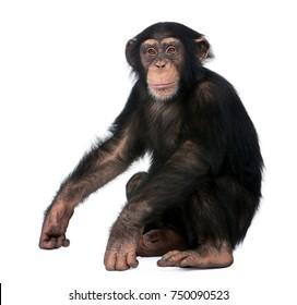 Jeune Chimpanzé, Simia troglodytes, 5 ans, assis sur fond blanc