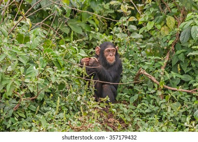 Young chimpanzee sits in the bush. Ngamba island chimpanzee sanctuary, Uganda.