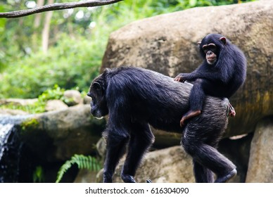 Young chimpanzee sitting on mother's back