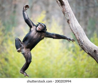 Young Chimpanzee Swinging and Jumping from a Tree