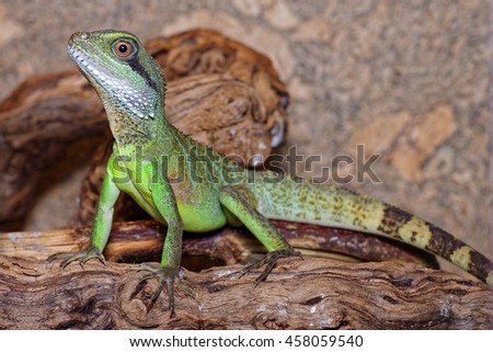 Young Chinese Water Dragon Physignathus Cocincinus Stock Photo Edit