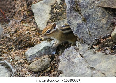 young chipmunk peeps from behind the rocks