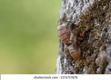 Young Cicada hang on the tree and it try to slough off.,pompania, Meimuna opalifera Walker