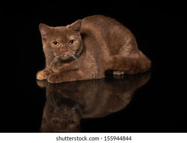 young cinnamon british cat on black background