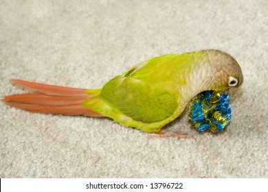 A young cinnamon green cheeked conure playing with a favorite toy.