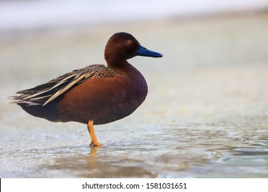 A young, Cinnamon Teal Duck stands at the edge of a pond
