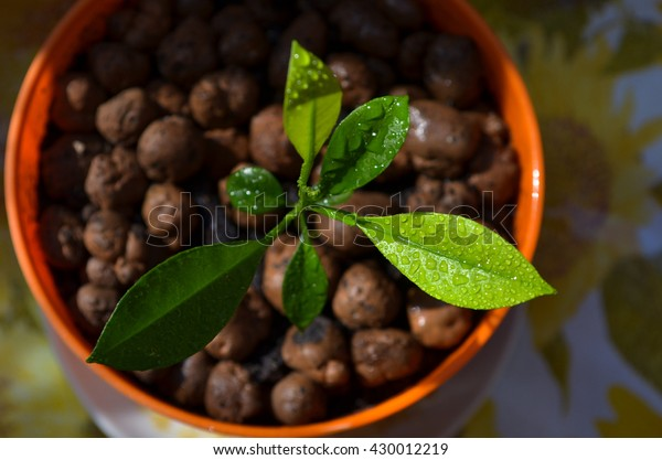 Young citrus sprout in the pot