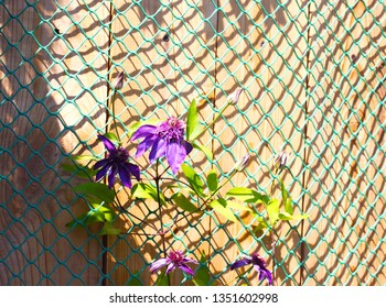 young clematis plant with purple flowers and buds on a green grid against a wooden textured wall on a bright Sunny day in summer