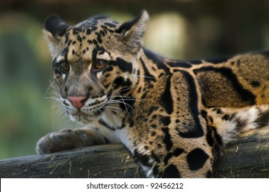 Young Clouded Leopard - Neofelis Nebulosa