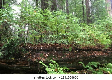 Young Coastal redwoods growing on dead redwood log, Humboldt Redwoods State Park, California, USA
