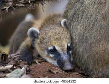 A Young Coati Mundi resting close to his mother's side - Argentina.