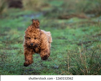 A young cockapoo puppy running and  playing in a field on a cold frosty morning