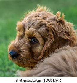 A young cockapoo puppy sitting in garden watching carefully