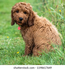 A young cockapoo puppy sitting in garden on a wet day